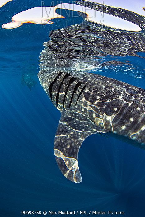 Two Whale sharks (Rhincodon typus) feeding on fish eggs at the surface, Isla Mujeres, Quintana Roo, Yucatan Peninsula, Mexico, Caribbean Sea  -  Alex Mustard/ npl