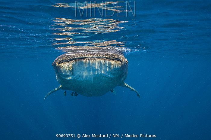 A Whale shark (Rhincodon typus) swimming at the surface, Isla Mujeres, Quintana Roo, Yucatan Peninsula, Mexico, Caribbean Sea  -  Alex Mustard/ npl