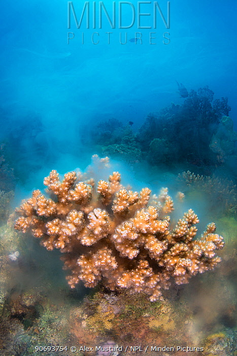 A colony of Cauliflower coral (Pocillopora damicornis) releasing gametes, Ras Mohammed Marine Reserve, Sinai, Egypt, Red Sea  -  Alex Mustard/ npl