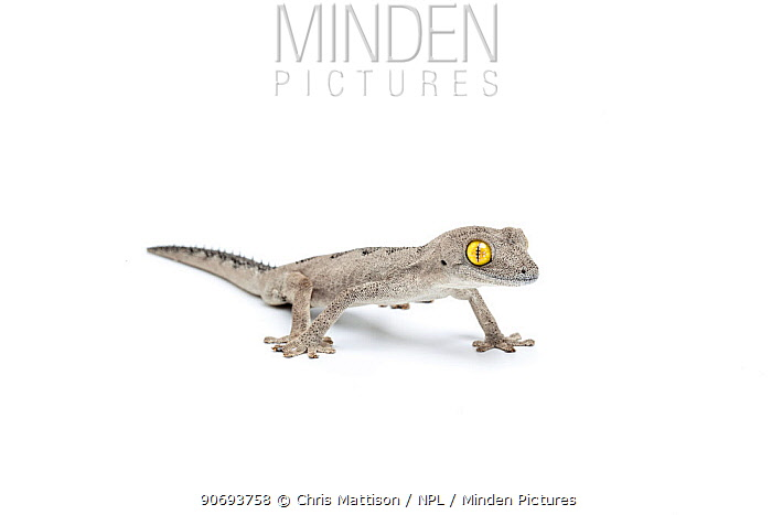 Soft spiny-tailed gecko (Strophurus spinigerus) Endemic to Western and Northern Australia  -  Chris Mattison/ npl