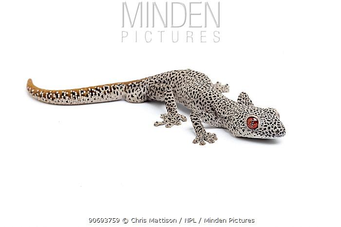 Golden-tailed gecko (Strophurus taenicauda) Endemic to Western Australia  -  Chris Mattison/ npl