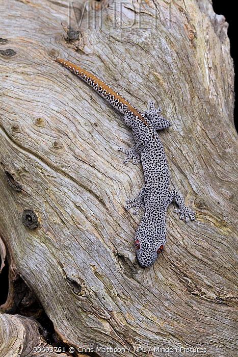 Golden-tailed gecko (Strophurus taenicauda) Captive Western Australia  -  Chris Mattison/ npl