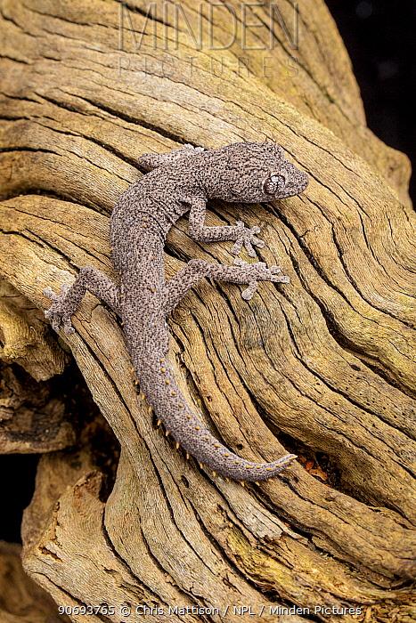 Kristen's spiny-tailed gecko (Strophurus krisalys) Captive Endemic to Australia  -  Chris Mattison/ npl