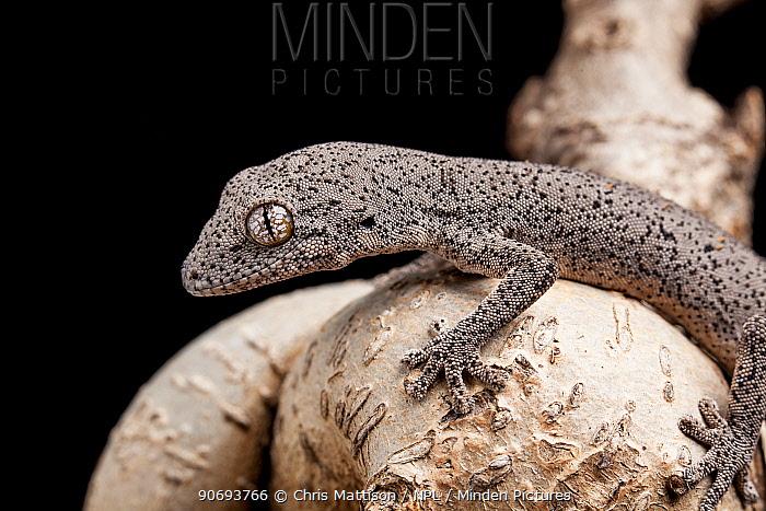 Eastern spiny-tailed gecko (Strophurus williamsi) Captive Endemic to Australia  -  Chris Mattison/ npl