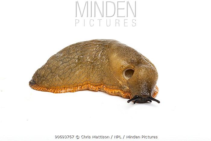 Black Slug (Arion ater) grey form Yorkshire, UK, September  -  Chris Mattison/ npl