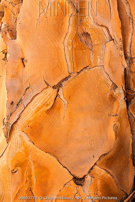 Close-up of bark of the Quiver Tree (Aloe dichotoma) Goegap Nature Reserve, Springbok, South Africa, October 2012  -  Chris Mattison/ npl