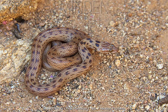 Spotted house snake (Lamprophis guttatus) Springbok, South Africa, October  -  Chris Mattison/ npl