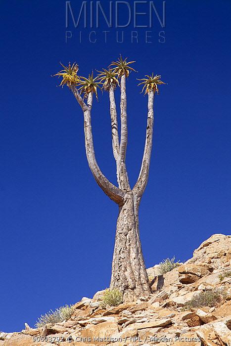 Bastard Quiver Tree (Aloe dichotoma pillansiii) Cornellskop, Richtersveld, South Africa, October  -  Chris Mattison/ npl