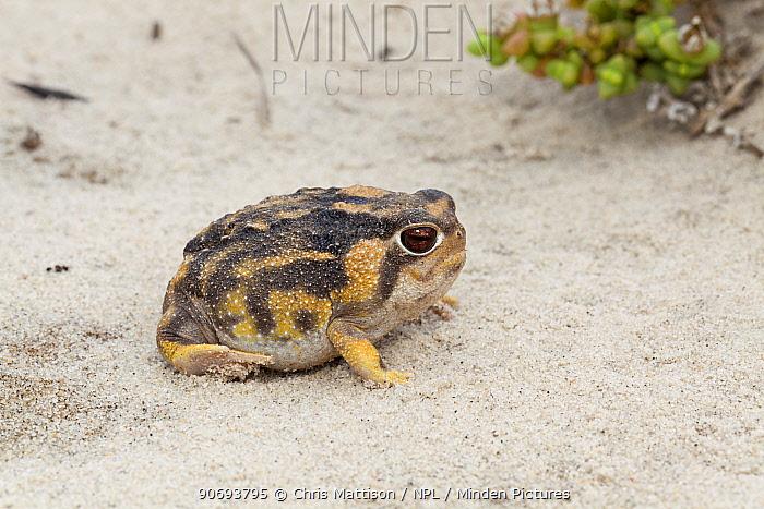 Namaqua Rain Frog (Breviceps namaquensis) Port Nolloth, South Africa, October  -  Chris Mattison/ npl