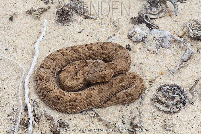 Many-horned, Horned Puff Adder (Bitis cornuta) Port Nolloth, South Africa, October  -  Chris Mattison/ npl