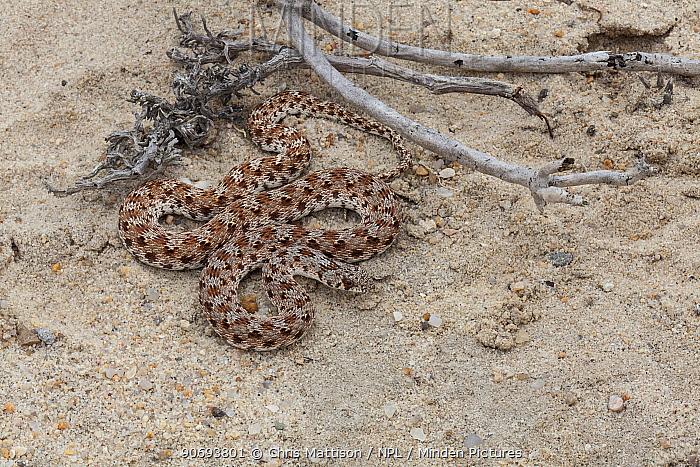 Dwarf Beaked Snake (Dipsina multimaculata) Port Nolloth, South Africa  -  Chris Mattison/ npl