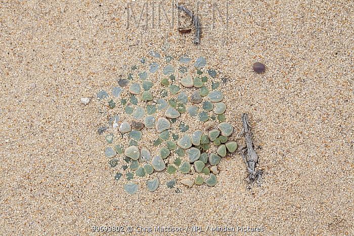 Window Plant (Fenestraria rhopalophylla) with leaf-tips emerging through sand Port Nolloth, South Africa, October  -  Chris Mattison/ npl