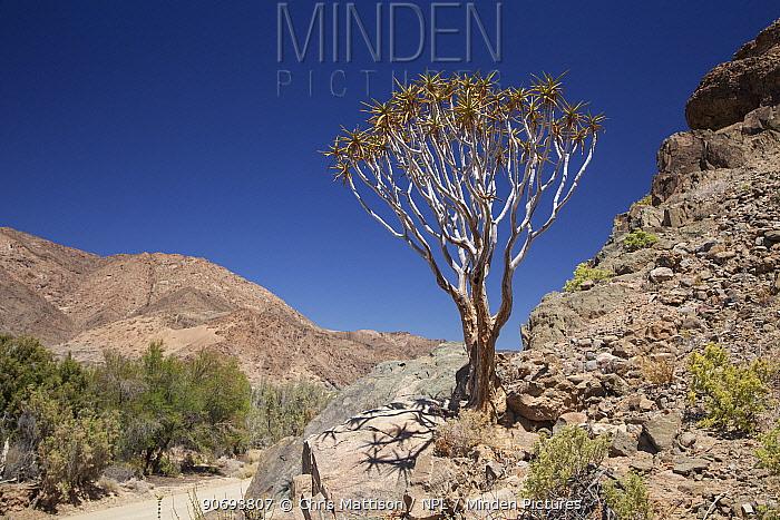 Bastard Quiver Tree (Aloe dichotoma pillansii) in arid landscape Richtersveld, South Africa, October  -  Chris Mattison/ npl
