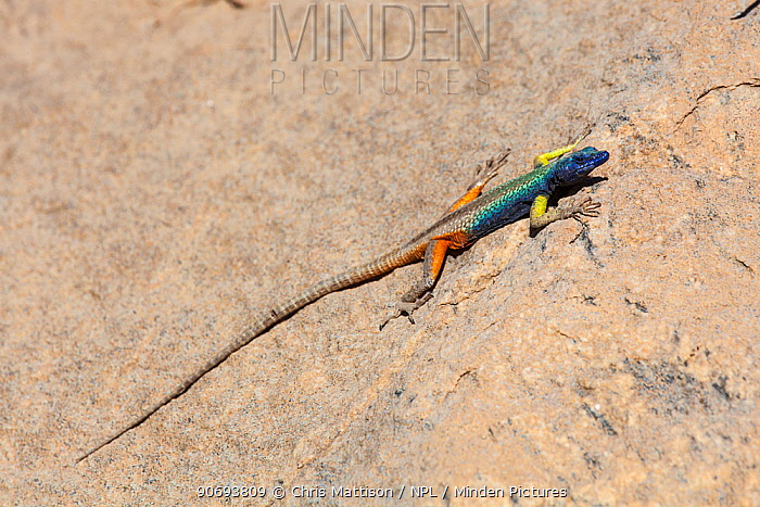 Augrabies flat lizard (Platysaurus broadleyi) Augrabies Falls National Park, South Africa, October  -  Chris Mattison/ npl