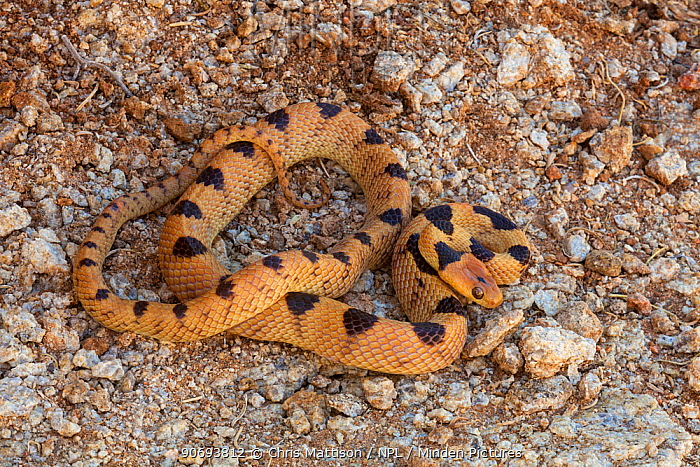 Namib Tiger Snake (Telescopus beetzii) Springbok, South Africa, October  -  Chris Mattison/ npl