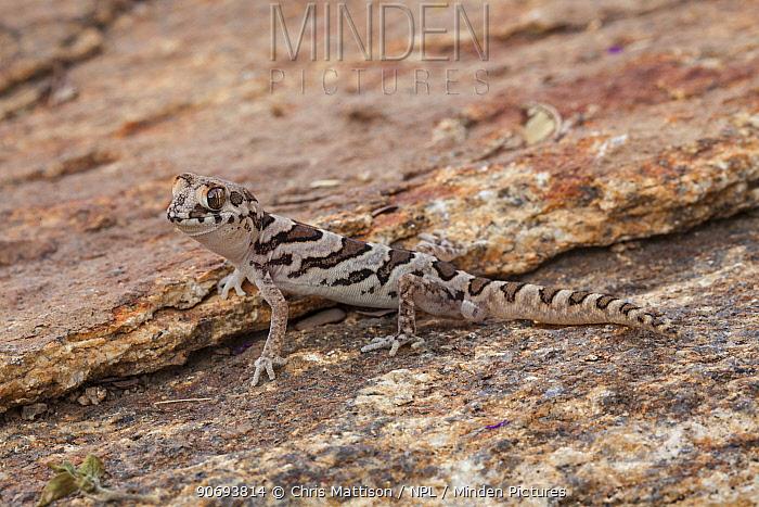 Marico Gecko (Pachydactylus mariquensis) Springbok, Namaqualand, South Africa, October  -  Chris Mattison/ npl