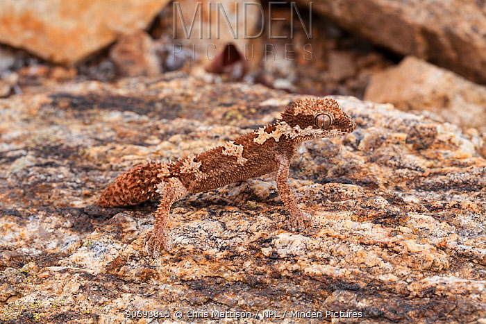 Rough-scaled Gecko (Pachydactylus rugosus), male with regenerated tail, Springbok, South Africa, October  -  Chris Mattison/ npl