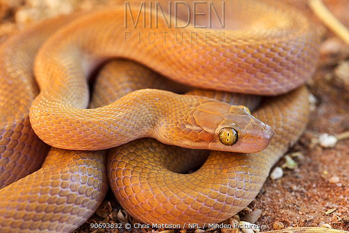 Namibian, Big Eyed House Snake (Boaedon, Lamprophis mentalis) Springbok, South Africa, October  -  Chris Mattison/ npl