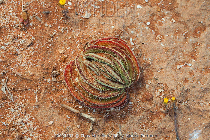 Crassula (Crassula tomentosa) Doring Bay, Western Cape, South Africa  -  Chris Mattison/ npl