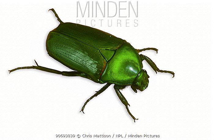 Green Flower Beetle (Thaumastopeus sp) Endemic to Borneo  -  Chris Mattison/ npl