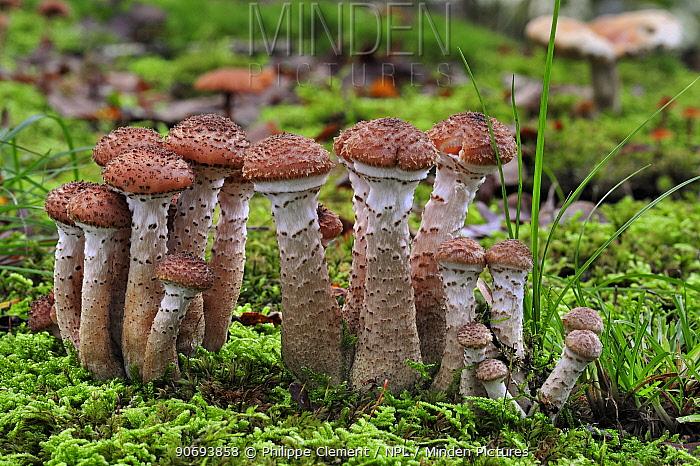 Dark honey fungus (Armillaria ostoyae, solidipes) growing amongst moss on forest floor in autumn, Belgium, October  -  Philippe Clement/ npl