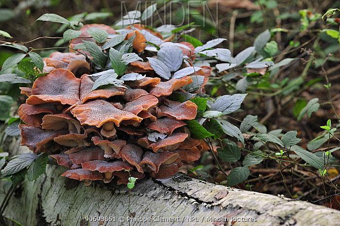 Dark honey fungus (Armillaria ostoyae, solidipes) growing in cluster on fallen tree trunk in autumn forest, Belgium October  -  Philippe Clement/ npl
