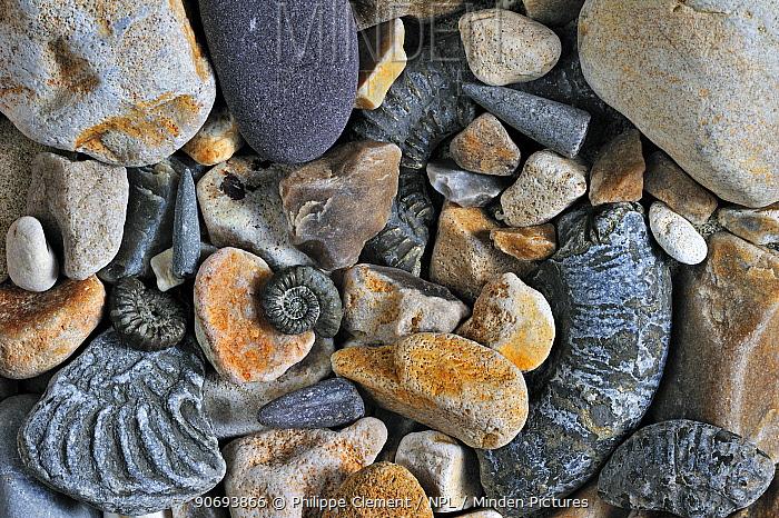 Fossils of belemnites and ammonites on shingle beach near Lyme Regis along the Jurassic Coast, Dorset, UK, November 2012  -  Philippe Clement/ npl