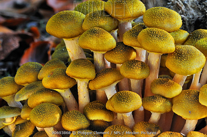 Honey fungus (Armillaria mellea) cluster growing on tree trunk in autumn forest, Belgium, October  -  Philippe Clement/ npl