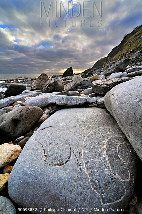 Large ammonite fossil embedded in rock on beach at Pinhay Bay near Lyme Regis along the World Heritage Jurassic Coast, Dorset, UK, November 2012  -  Philippe Clement/ npl