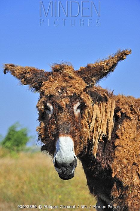 Poitou donkey (Equus africanus asinus) with shaggy coat on the island Ile de Re, Charente-Maritime, France  -  Philippe Clement/ npl