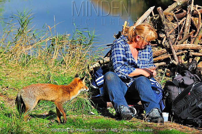Red fox (Vulpes vulpes) tame individual begging for food from tourist, the Netherlands, October  -  Philippe Clement/ npl