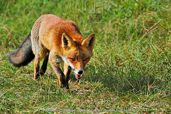 Red fox (Vulpes vulpes) stalking prey in meadow, the Netherlands, October  -  Philippe Clement/ npl