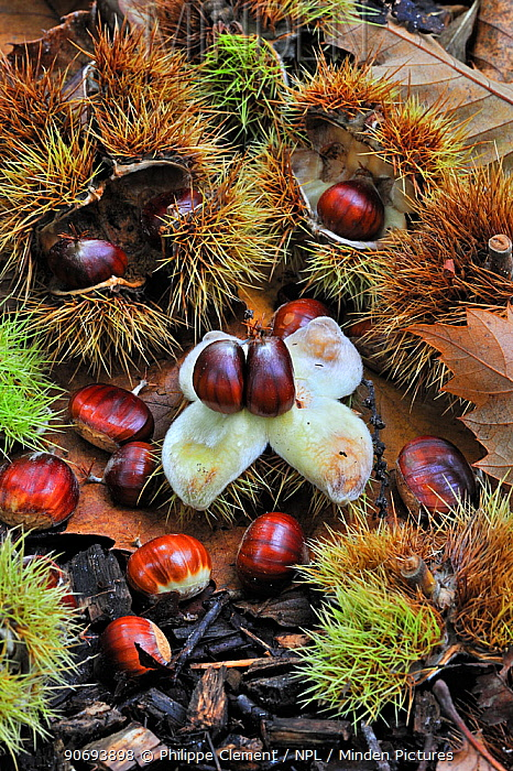 Spiny cupules and chestnuts of the sweet chestnut tree, marron (Castanea sativa) amongst autumn leaves on the forest floor, Belgium, October  -  Philippe Clement/ npl