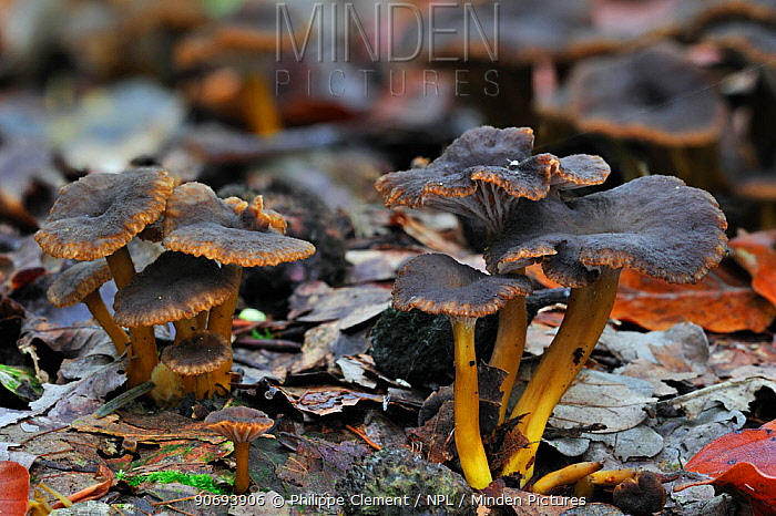 Trumpet chanterelle, Yellowfoot, Winter mushroom, Funnel Chanterelle (Cantharellus tubaeformis) growing in leaf litter on forest floor in autumn, Belgium, October  -  Philippe Clement/ npl
