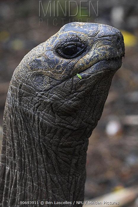 Aldabra Giant Tortoise (Geochelone gigantea) head portrait Mauritius  -  Ben Lascelles/ npl