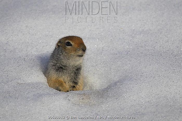 Arctic Ground Squirrel (Urocitellus parryii) in snow Hatcher Pass, Alaska, USA  -  Ben Lascelles/ npl