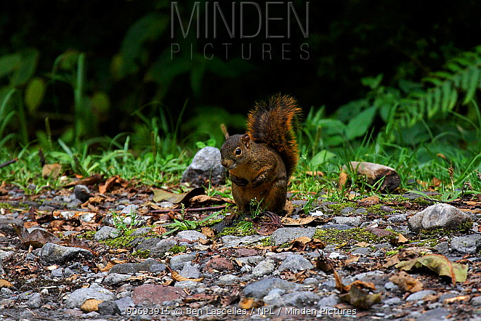 Bang's Mountain Squirrel (Syntheosciurus brochus) Las Nubes National Park, Chiriqui, Panama  -  Ben Lascelles/ npl