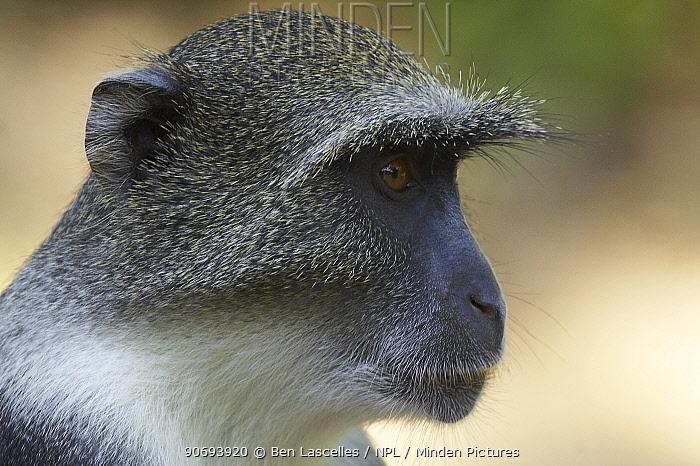 Blue Monkey (Cercopithecus mitis) portrait Gede Ruins, Kenya  -  Ben Lascelles/ npl