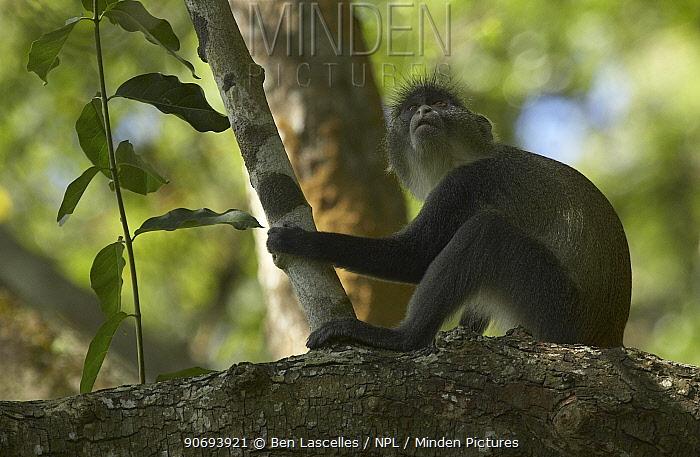 Blue Monkey (Cercopithecus mitis) Gede Ruins, Kenya  -  Ben Lascelles/ npl