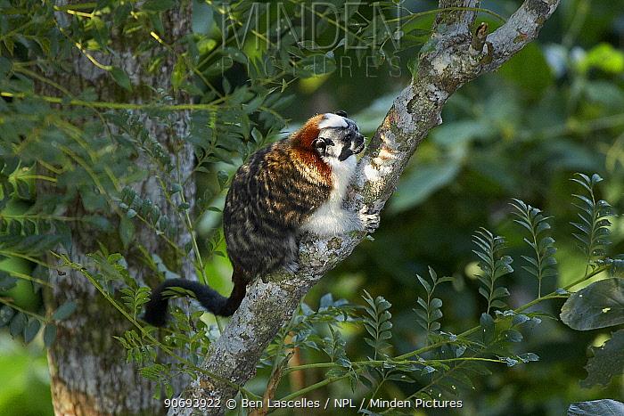 Geoffrey's Tamarin (Sagiunus geoffroyi) on branch Canopy Tower, Soberania National Park, Panama  -  Ben Lascelles/ npl