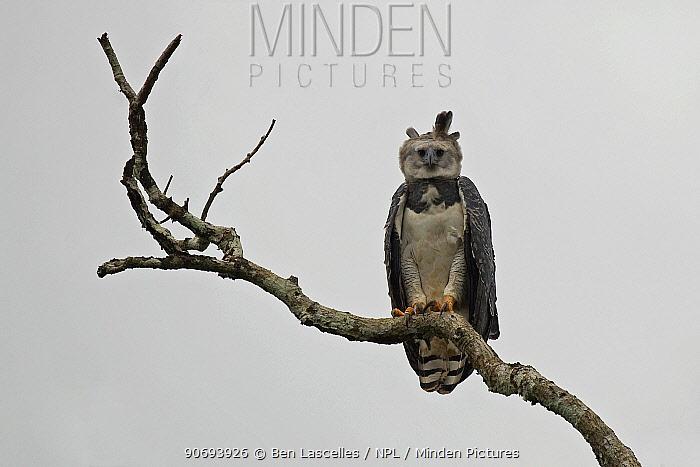 Harpy Eagle (Harpia harpyja) Pipeline Road, Soberania National Park, Panama  -  Ben Lascelles/ npl
