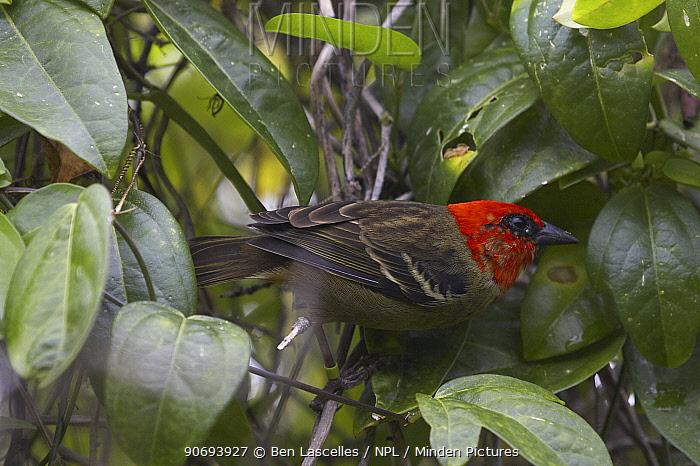 Mauritius Fody (Foudia rubra) Ile Aux Aigrette, Mauritius  -  Ben Lascelles/ npl
