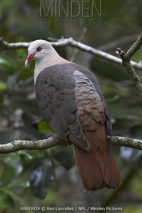 Pink Pigeon (Columba mayeri) Mauritius  -  Ben Lascelles/ npl