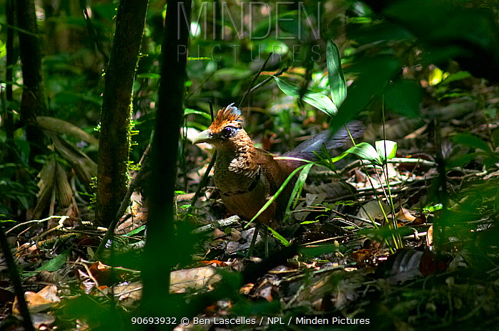 Rufous-vented Ground Cuckoo (Neomorphus geoffroyi) Soberania National Park, Panama  -  Ben Lascelles/ npl