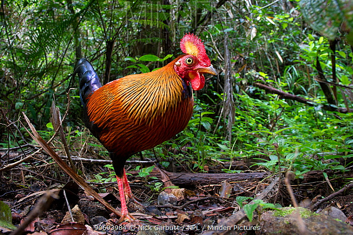 Male Red Jungle Fowl (Gallus gallus) in forest understorey Sinharaja National Park, Sri Lanka  -  Nick Garbutt/ npl