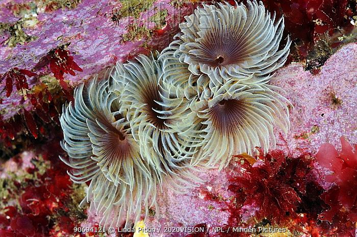 Tube worms (Bispira volutacornis) living between rocks covered in Crustose coralline (Corallinaceae) and red algae (Rhodophyceae), Lundy Island Marine Conservation Zone, Devon, England, UK, May  -  Linda Pitkin/ 2020V/ npl