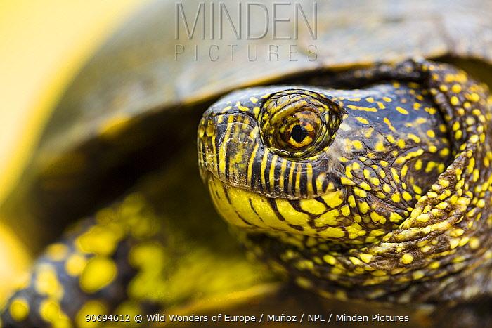European pond turtle (Emys orbicularis) head portrait, Campanarios de Azaba Biological Reserve, a rewilding Europe Area, Salamanca, Castilla y Leon, Spain  -  WWE/ Munoz/ npl