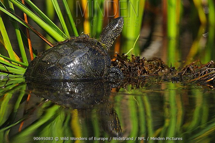 European pond turtle (Emys orbicularis) half out of water, Danube delta rewilding area, Romania  -  WWE/ Widstrand/ npl