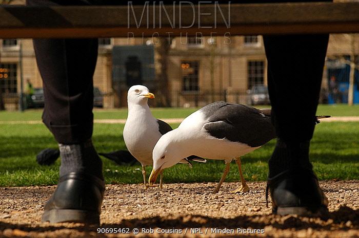Herring gulls (Larus argentatus) being fed by an office worker in park, Bristol, UK  -  Rob Cousins/ npl