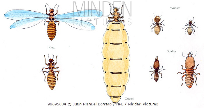 illustration of termites isoptera sp with winged king in the top left